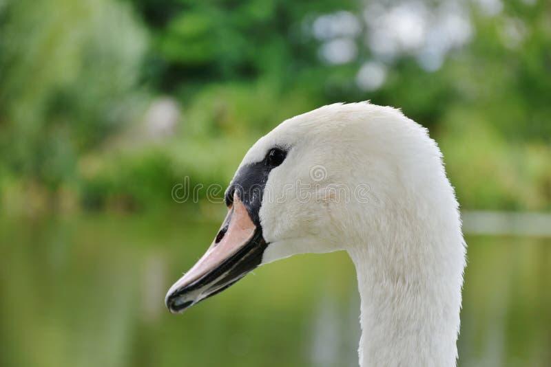 Vit och svart svan i Sahllowphotography royaltyfri fotografi