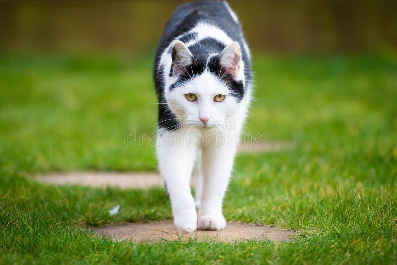 Vit och svart Tom Cat Walking Face On royaltyfri bild