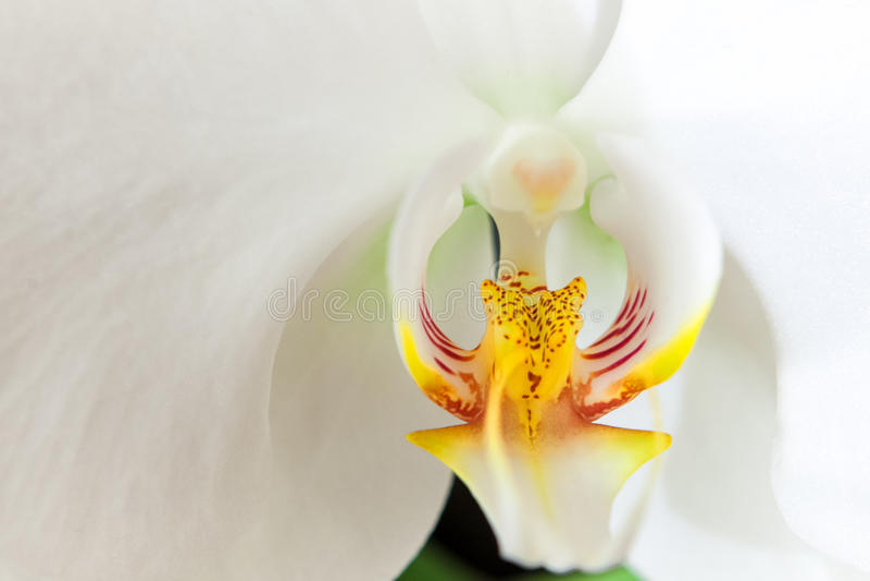 Vit orchid 01 royaltyfri fotografi