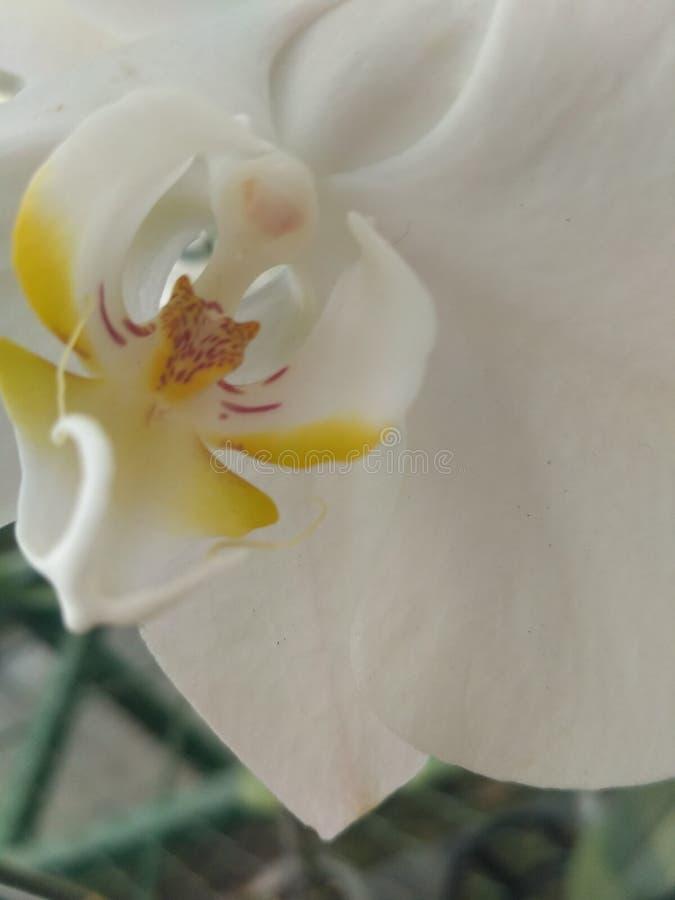 Vit orkidé royaltyfri foto