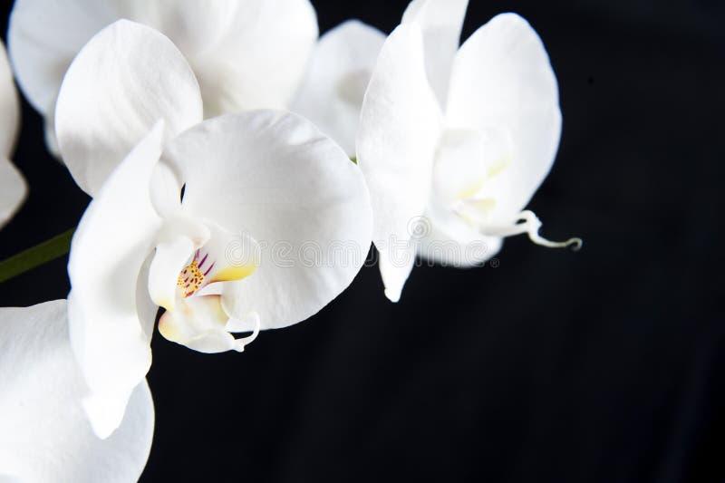Vit orkidé arkivbilder