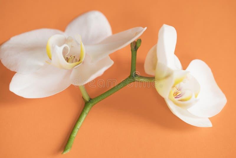 Vit orkidé för makro på den orange tabellen royaltyfria bilder
