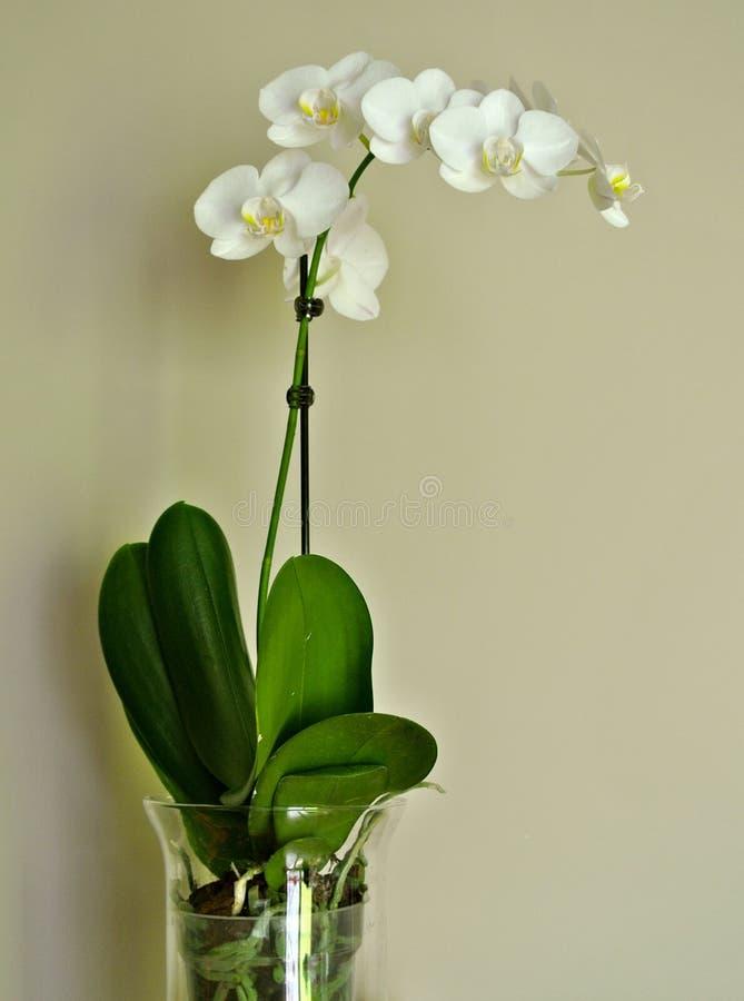 Vit orkidé i genomskinlig exponeringsglasvas royaltyfri foto