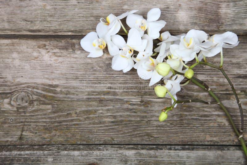 Vit orkidé (Phalaenopsis) royaltyfri foto