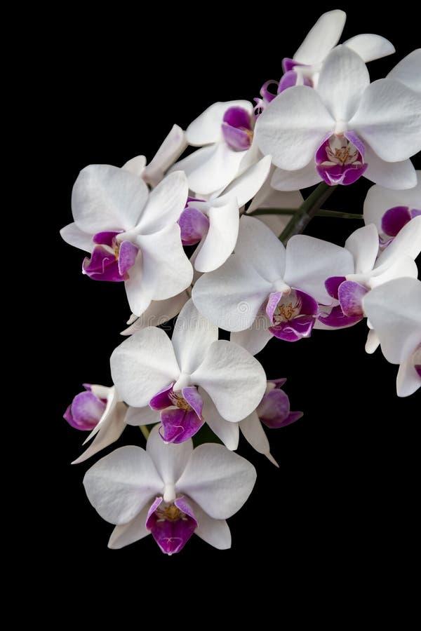 Vit orkidéblomma arkivbild