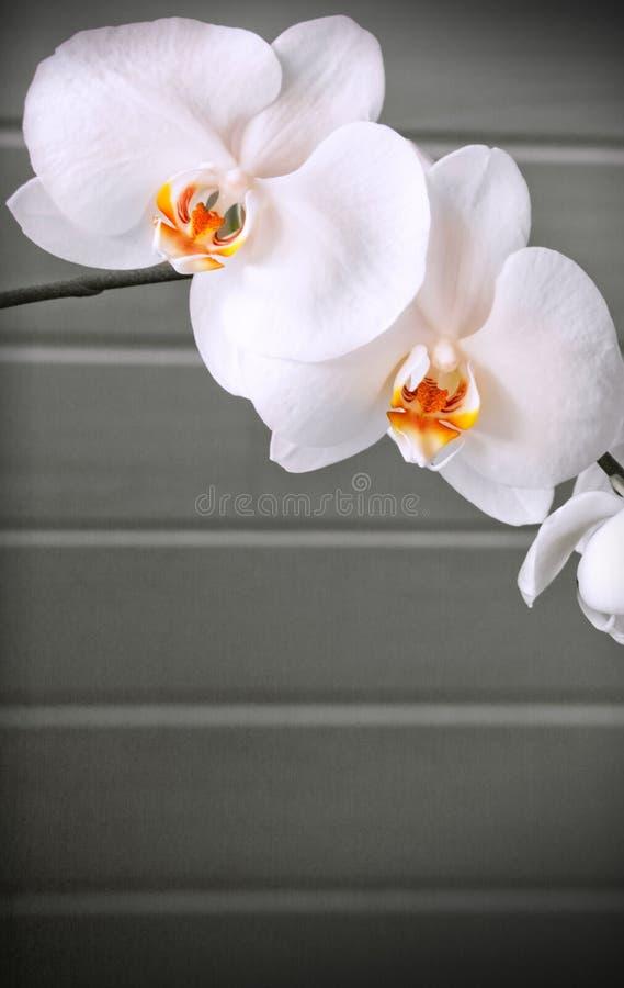 Vit orkidéblomma som isoleras på grå bakgrund royaltyfri foto