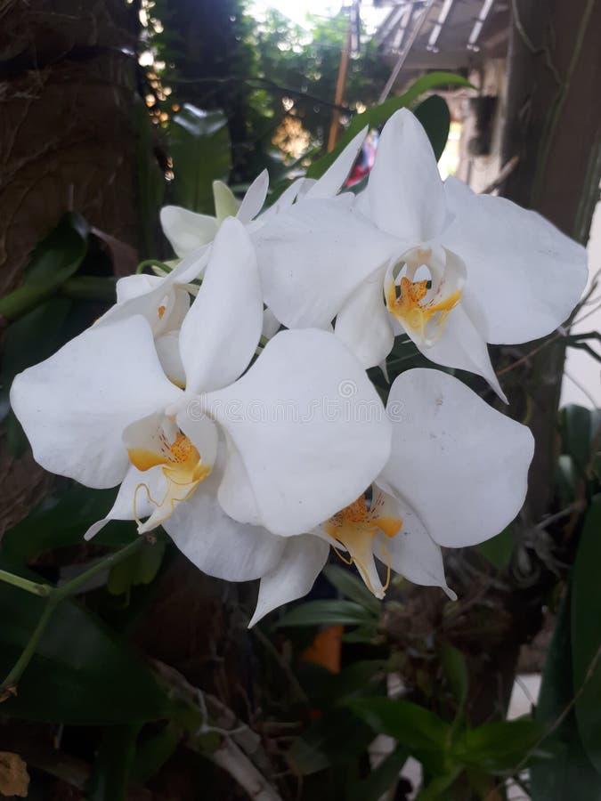 Vit orkidéblommablomning royaltyfria foton