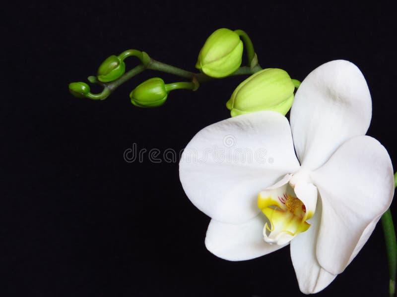 Vit orkidégrupp och gröna orkidéknoppar på svart bakgrund Phalaenopsis som är bekant som mal arkivfoto