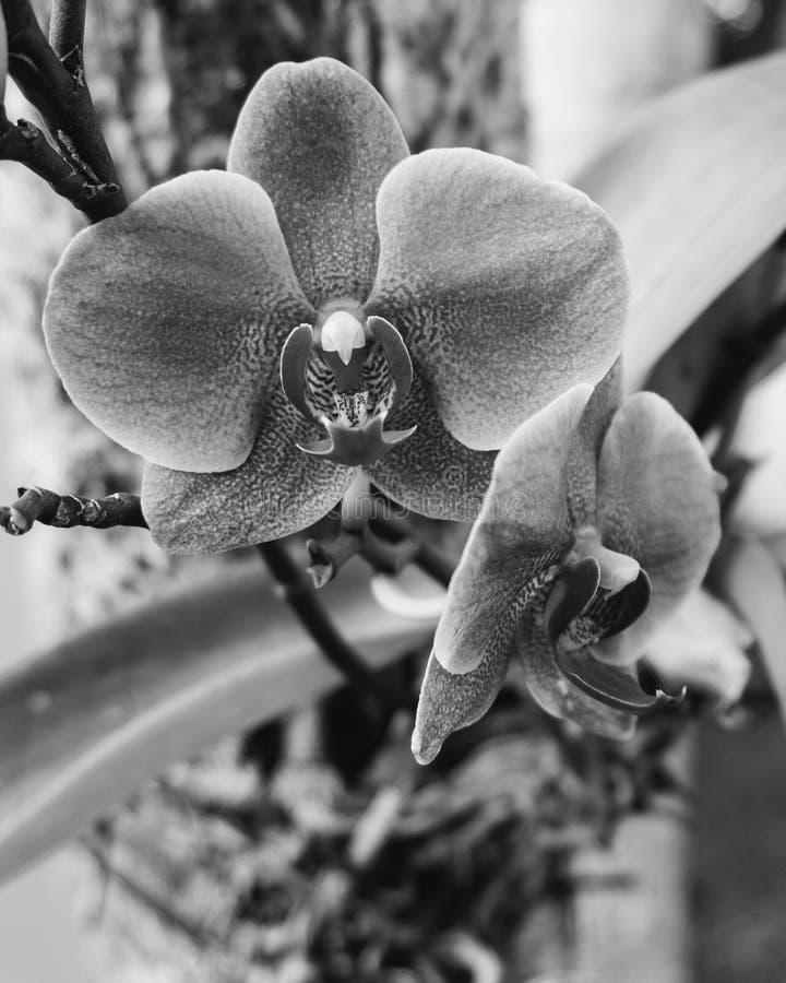 Vit orkid? p? m?rk bakgrund arkivfoto