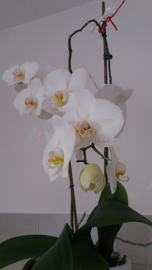 Vit orkid? arkivfoto