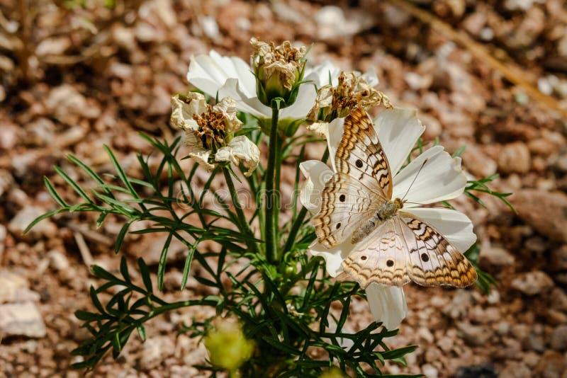 Vit påfågelfjäril på den vita blomman, Sonoran öken royaltyfri fotografi