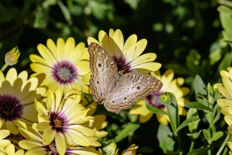 Vit påfågelfjäril som matar på gula blommor royaltyfri bild