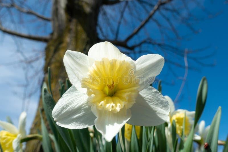 Vit påsklilja som blommar i landsträdgård på solig dag royaltyfria foton