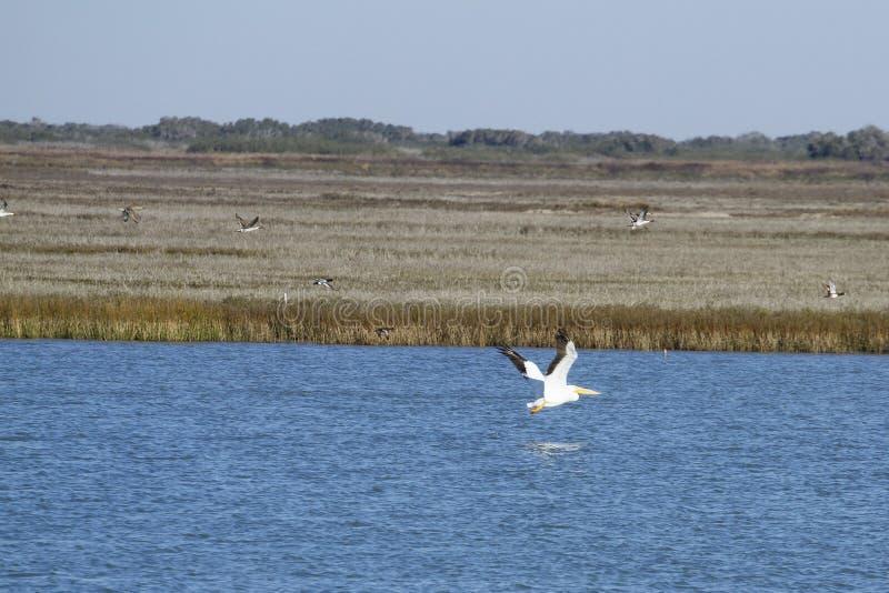 Vit pelikan i det Aransas passerandet royaltyfri bild