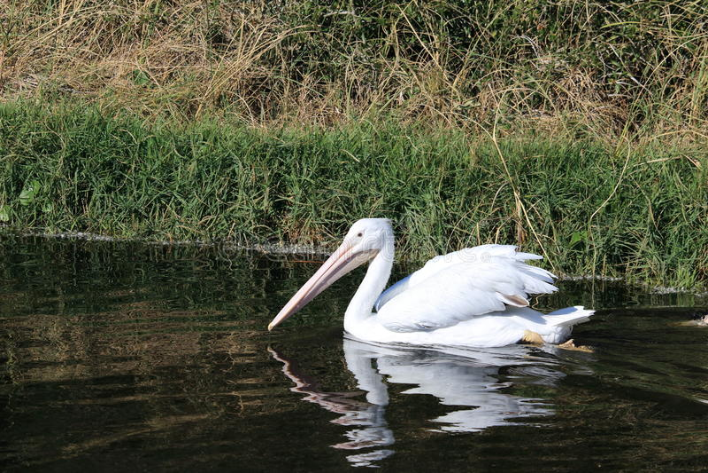 Vit pelikan i flodarmen royaltyfri bild