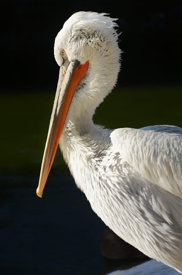 Vit pelikan i profil fotografering för bildbyråer
