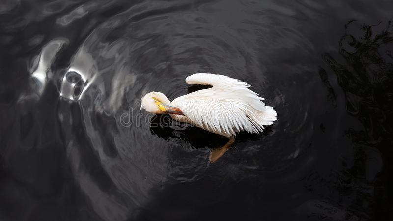 Vit pelikan som putsar fjädrar i mörkt vatten av ett damm fotografering för bildbyråer