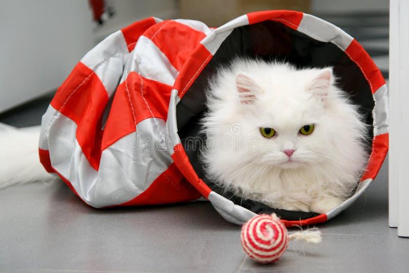 Vit persisk katt som spelar med leksaker royaltyfri fotografi