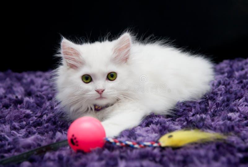 Vit persisk kattunge med leksaken royaltyfria foton