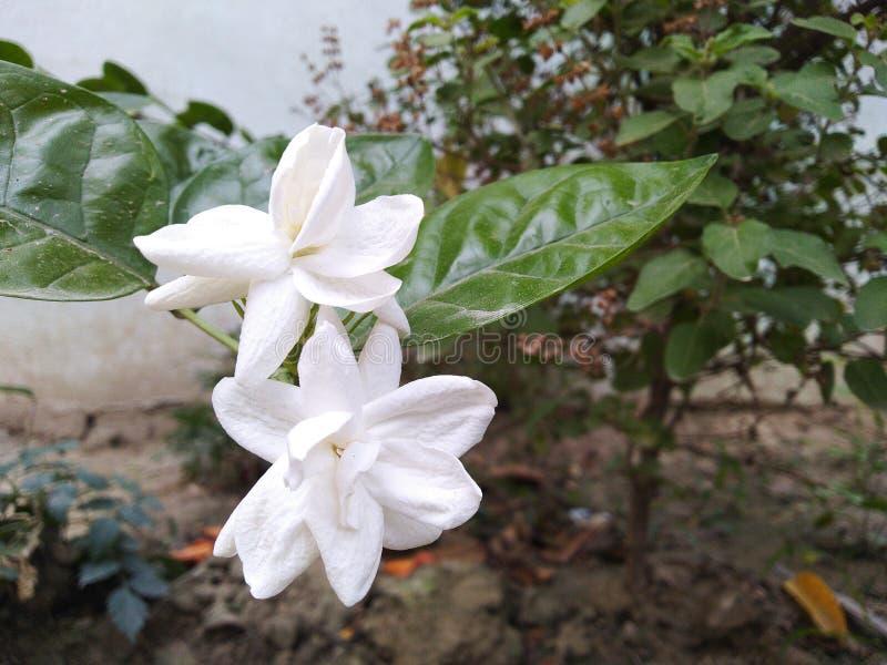 Vit vit phool för sandal för jasminblommamogra mina älskvärda blommor för trädgård royaltyfria foton
