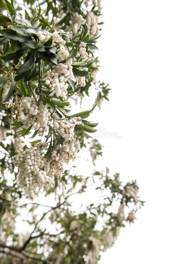 Vit pierisjaponica i vår royaltyfria bilder