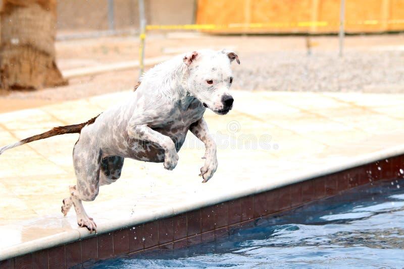 Vit pitbullbanhoppning i simbassängen av sidan arkivfoto