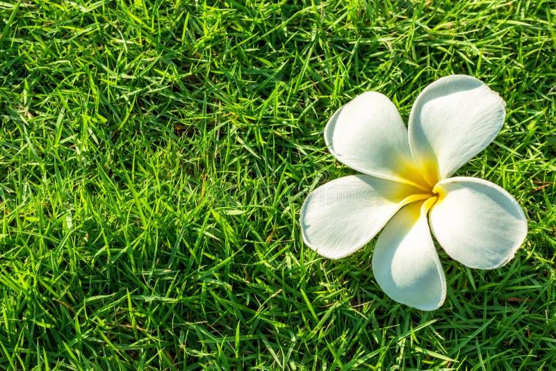 Vit Plumeriablomma i bakgrund för grönt gräs royaltyfri bild