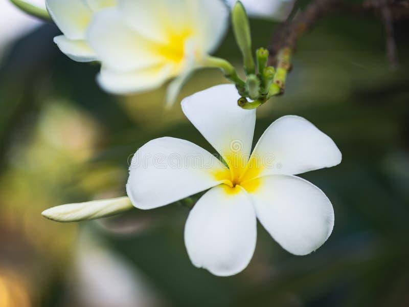 Vit Plumeriablomma på Plumeriaträdet i suddighetsbackgrpund Tropiskt blommabegrepp arkivfoto