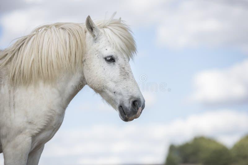Vit ponnyhäst med härlig man i natur horisontal Copyspace Inga personer arkivbild