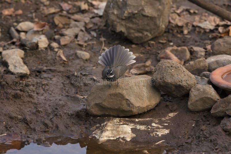 Vit-prickig fantail, Rhipidura albogularis, område för Sinhagad dal, Pune, Maharashtra, Indien arkivfoton