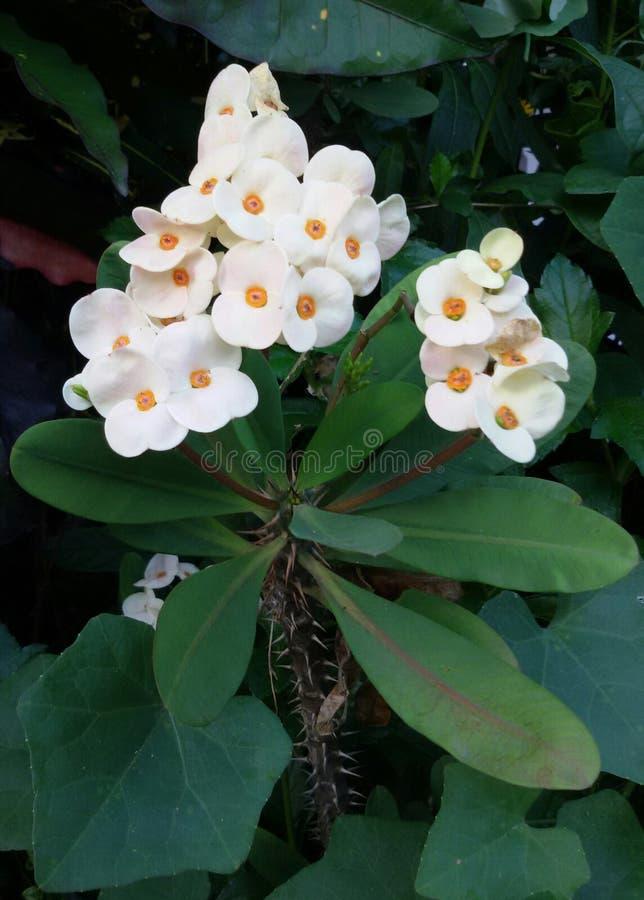 Vit Puay-sian blomma royaltyfria foton