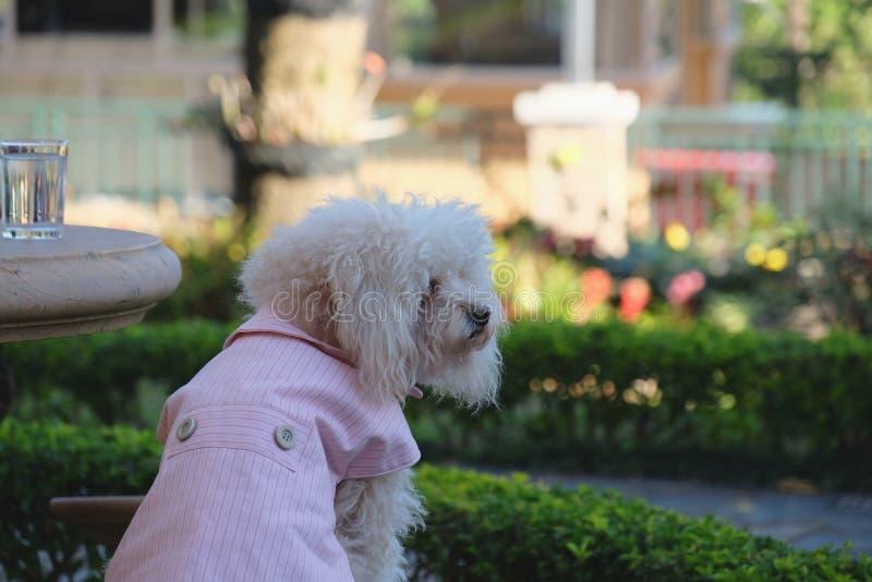 Vit pudelhund som bär en rosa skjorta som sitter på trädgården arkivbilder