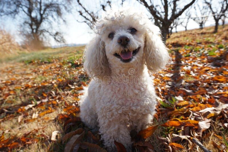 Vit pudelhund som lyckligt ler fotografering för bildbyråer