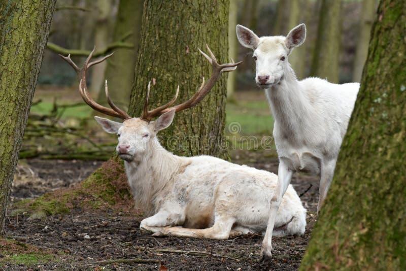 Vit röda hjortar eller vitfullvuxen hankronhjort arkivfoto