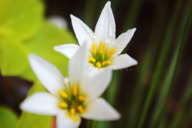 Vit regnlilja, vit sefirlilja, Zephyranthes candida fotografering för bildbyråer
