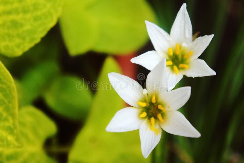 Vit regnlilja, vit sefirlilja, Zephyranthes candida arkivbilder