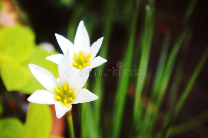 Vit regnlilja, vit sefirlilja, Zephyranthes candida arkivbild