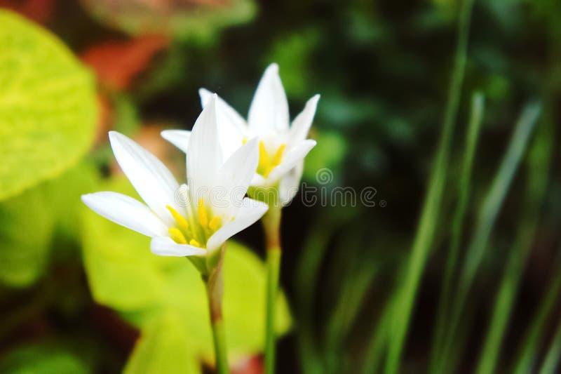 Vit regnlilja, vit sefirlilja, Zephyranthes candida arkivfoton