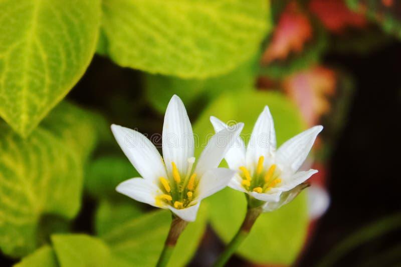 Vit regnlilja, vit sefirlilja, Zephyranthes candida royaltyfria bilder