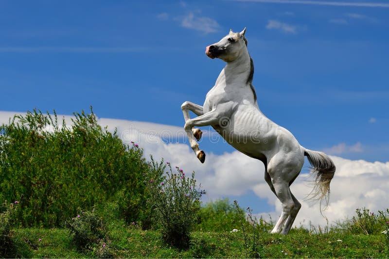 Vit ren arabisk häst som itu poserar ben royaltyfri foto
