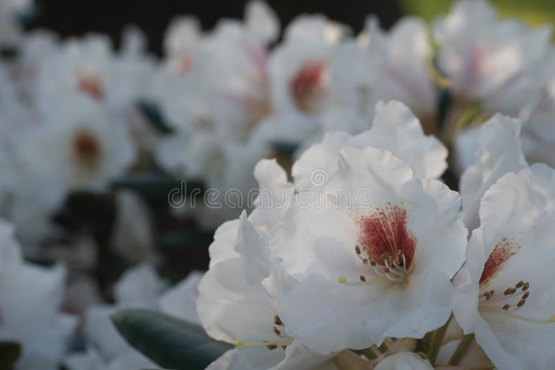 Vit rhododendronblomma i blommakro royaltyfri bild