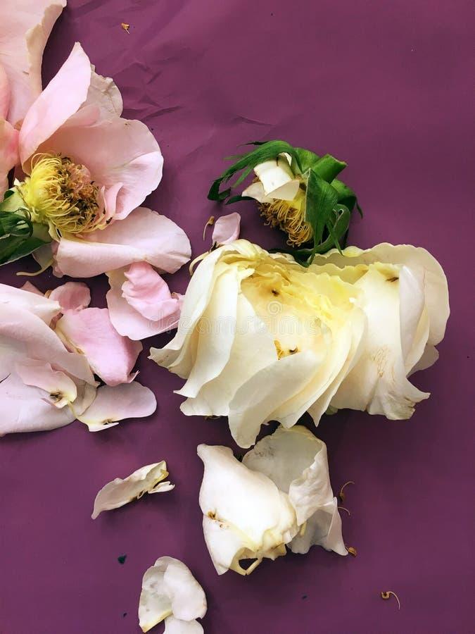 Vit ros för rosa färger och delikata kronblad för kronblad av ett snitt-av på purpl-rosa färger bakgrund royaltyfri bild