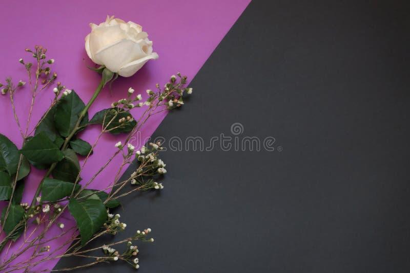 Vit ros och torkade blommor på violett och svart geometriskt utrymme för bakgrundswhithkopia arkivbilder