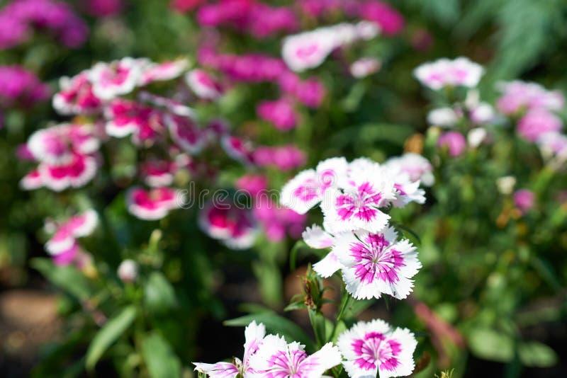 Vit/rosa Dianthus arkivfoton
