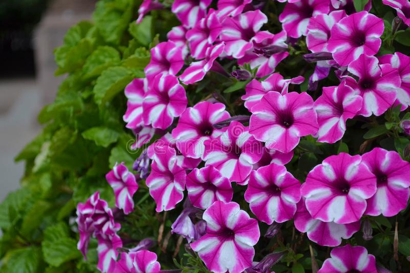 Vit-rosa färger blommor från rabatter Trädgårds- floxfloxpaniculata Naturlig bakgrund Trädgårds- dekorativa växter arkivfoto