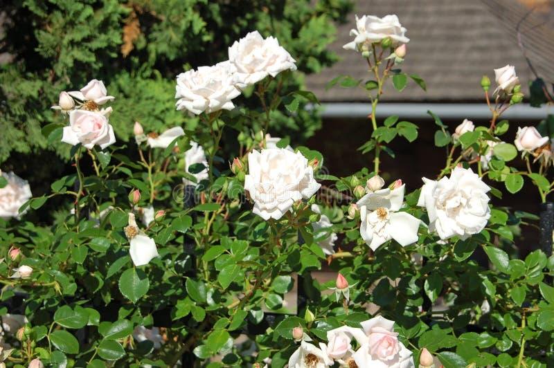 Vit Rosa odorata royaltyfri bild