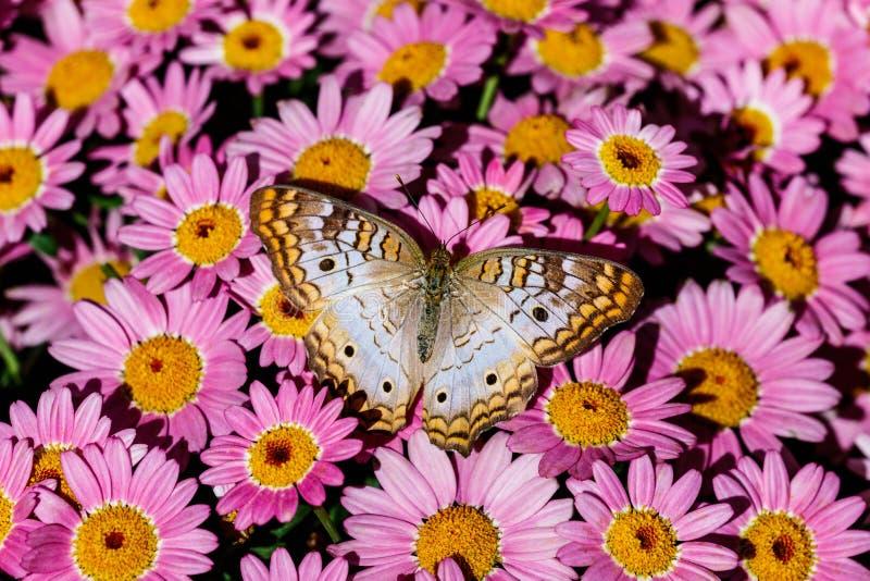 Vit säng för påfågelfjäril av rosa blommor royaltyfria bilder