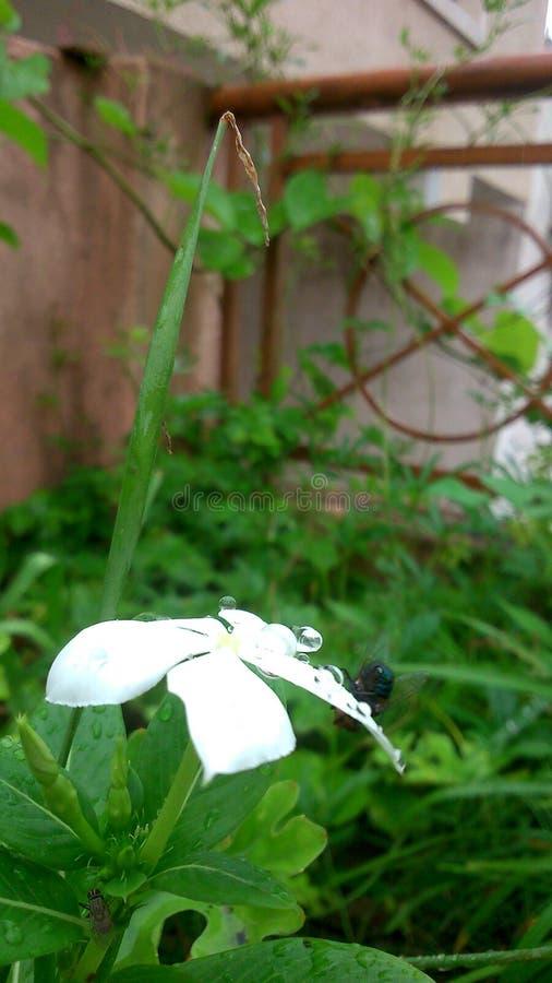 Vit Sadabahar blomma royaltyfria bilder