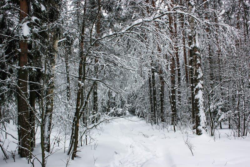 Vit saga - vintern Forest Landscape och snö - 5 arkivfoton