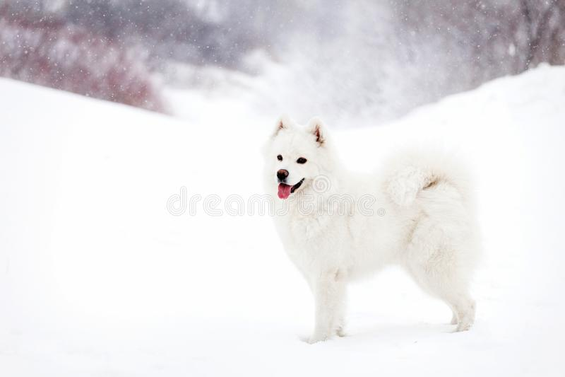 Vit Samoyedhund på snöbakgrunden arkivfoton